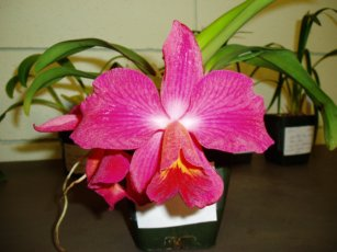 Cattleya Orchid Care Questions