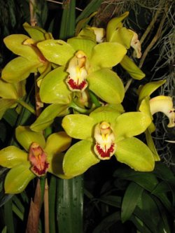 Green Cymbidium Orchid Plants