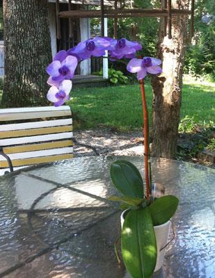 Indoor Monopodial Orchid