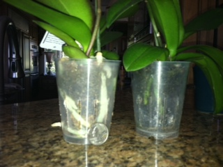 Just Bought Two Orchids In Bloom Should They Be Repotted