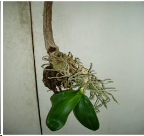 Orchid On A Stick: Epiphyte Phalaenopsis