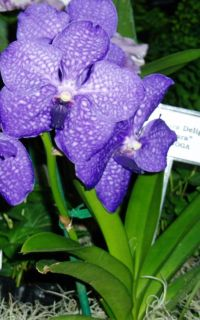 Beautiful Blue Vanda