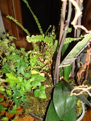 Ivy & Fern in Same Pot