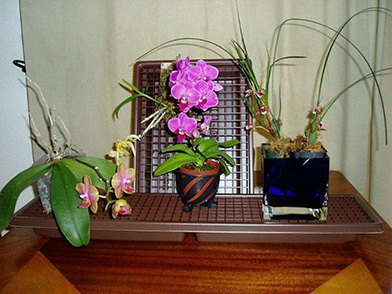 Orchids As House Plants On A Humidity Tray