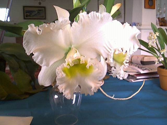 Huge and Fragrant Cattleya
